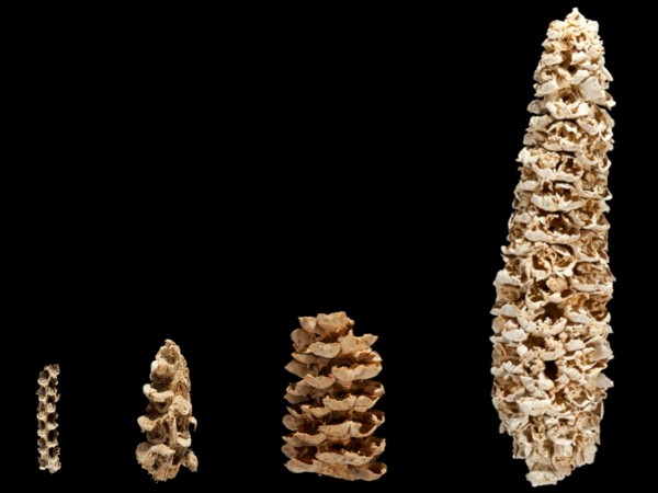 PHOTO BY DONALD E. HURLBERT, SMITHSONIAN INSTITUTION Domestication slowly transformed maize from a stubby grass into the long cobs with juicy kernels we know and love today.