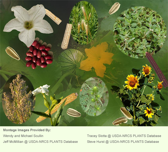 Cast of Plants of Native North America: Sunflower, Little Barley, Goosefoot or Lamb's Quarters, Marshelder or Sumpweed, Erect Knotweed, Maygrass Gourds and Squashes, Maize or Corn, Beans and Tobacco. Image from http://archaeology.uiowa.edu/crops-ancient-iowa
