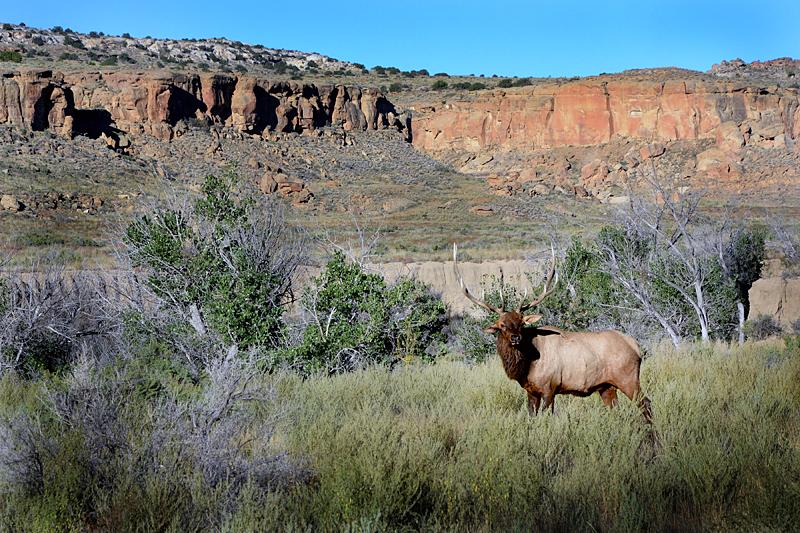 Elk at Chaco