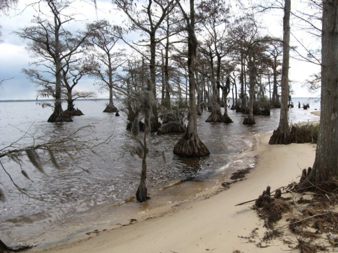 Cypress trees along the Albemarle Sound.