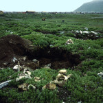A digging site on the edge of the village of Gambell, St. Lawrence Island. The diggers look for even the smallest pieces of walrus ivory to sell or carve. Whale vertebrae and other pieces of sea mammal bone are left to dry, and later will be collected and used in arts and crafts or sold by the poun. Photo by Julie Hollowell.