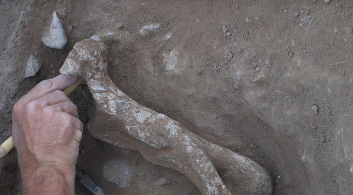 A Bison antiquus humerus uncovered at the Water Canyon site in New Mexico. This dig was a cultural resource management project mandated by the National Historic Preservation Act. Some archaeologists are concerned that the law may be challenged or weakened. Credit: Robert Dello-Russo