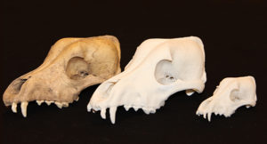 The dog skull on the left was from a dog burial excavated in 1971 at a Neutral Iroquois village known as the Cleveland site. The middle skull is a 3-D replicate printed at the SA Western facility based on their scan of the skull. The skull on the right is the same one printed at half size. Credit: Aubrey Cannon