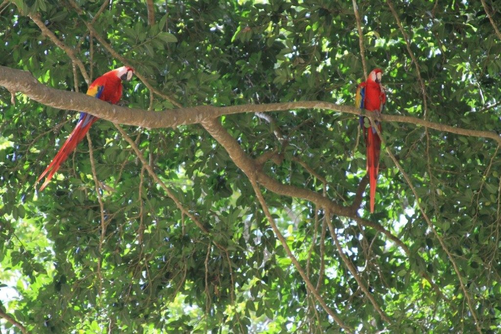 Abundant and Beautiful Scarlet Macaws at Copan