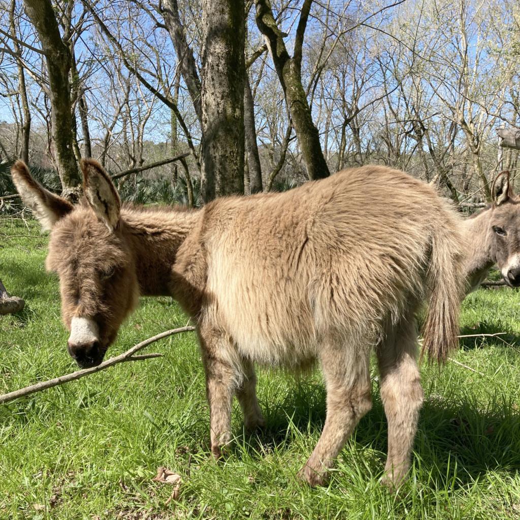 Donkey at gracing at Stallings Island