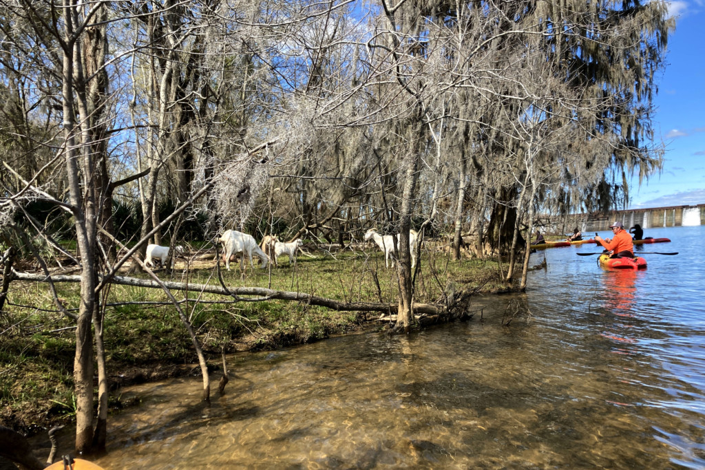 Kayakers observing goats at Stallings Island