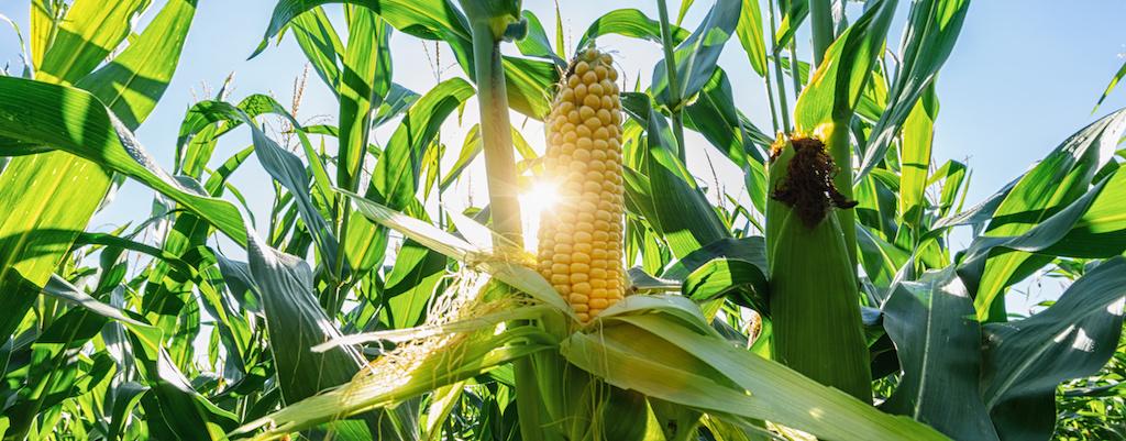 Modern Corn Plants