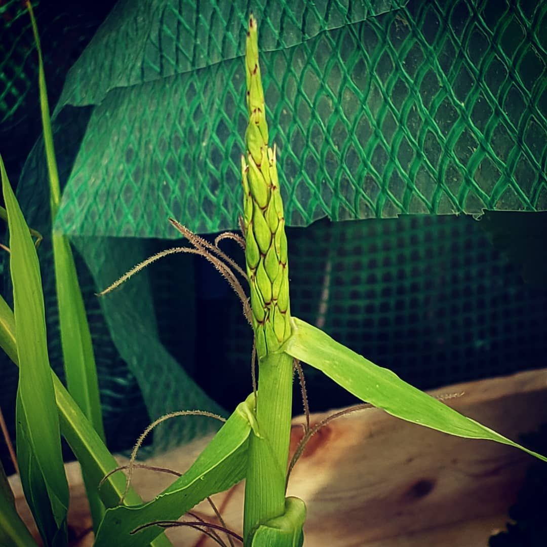 teosinte, the ancestor of maize